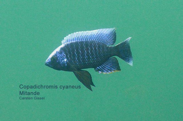 Copadichromis cyaneus