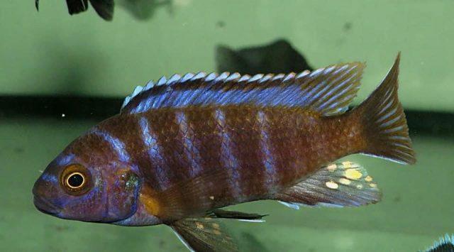 Iodotropheus sp. 'londo' Londo Bay