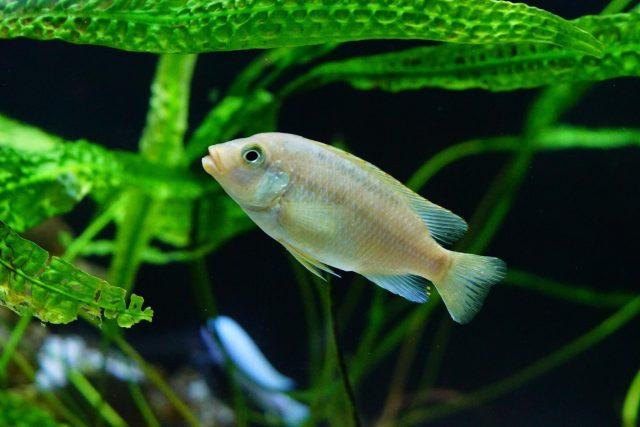 Petrotilapia flaviventris Chiteko (samice)