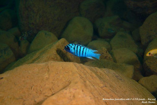 Metriaclima fainzilberi Hai Reef