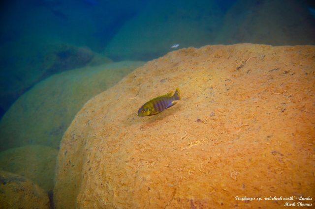 Tropheops sp. ,red cheek north' Lundu