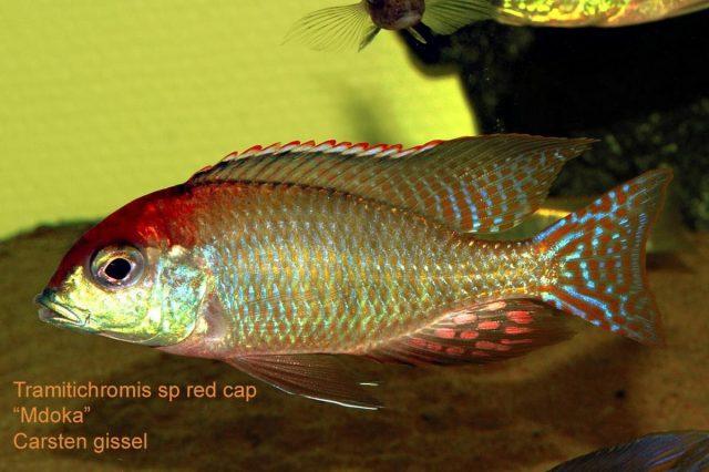 Lethrinops sp. 'red cap' Mdoka