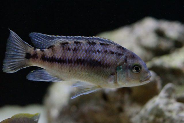 Petrotilapia genalutea Chimwalani Reef (samice)
