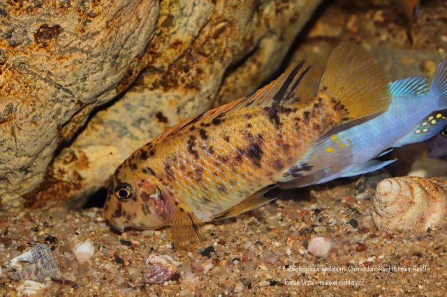 Labeotropheus fuelleborni Chimwalani Reef (OB samice)