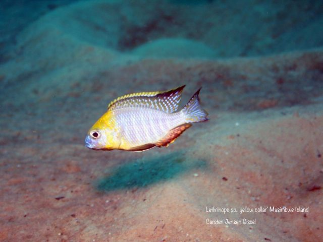 Lethrinops sp. 'yellow collar' Masimbwe Island