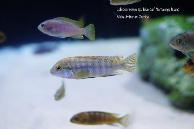 Labidochromis sp. 'blue bar' Namalenje Island