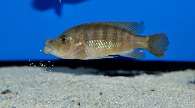 Abactochromis labrosus (samice)