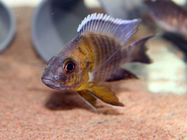 Aulonocara sp. 'trematocranus masinje' (samec)