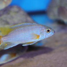 Pseudotropheus sp. 'acei'