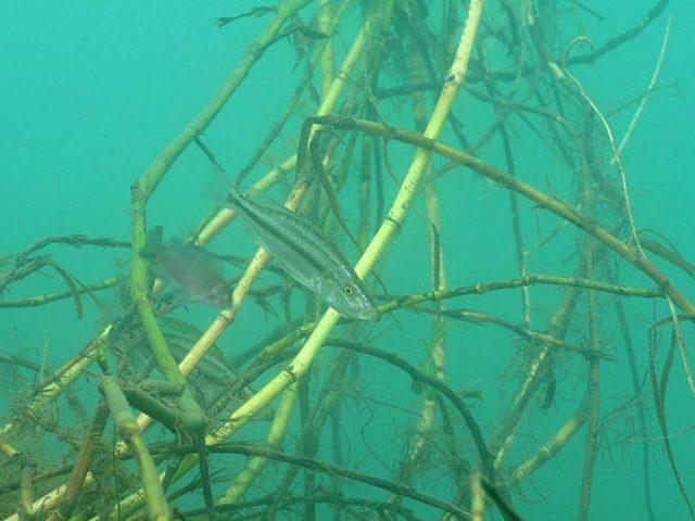 Dimidiochromis compressiceps Chiofu Bay (samice)