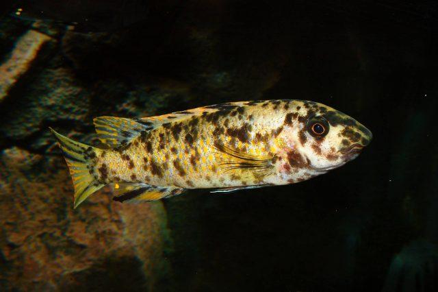 Labeotropheus trewavasae Manda (OB samice)