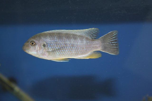 Labeotropheus chlorosiglos (samice)