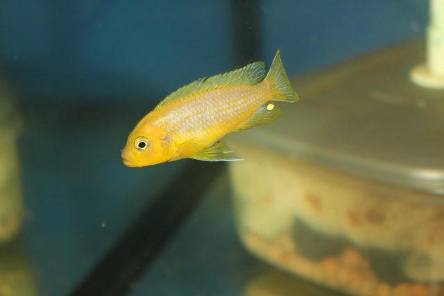 Metriaclima sp. 'lime nkhomo' (samec)