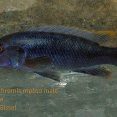 Melanochromis mpoto