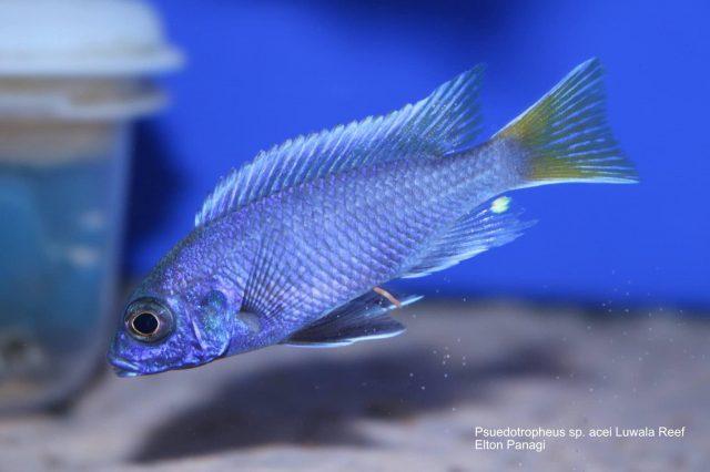 Pseudotropheus sp. 'acei' Luwala Reef