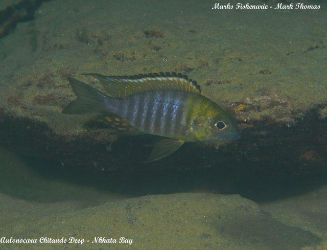 Aulonocara sp. 'chitande type north' (samec)