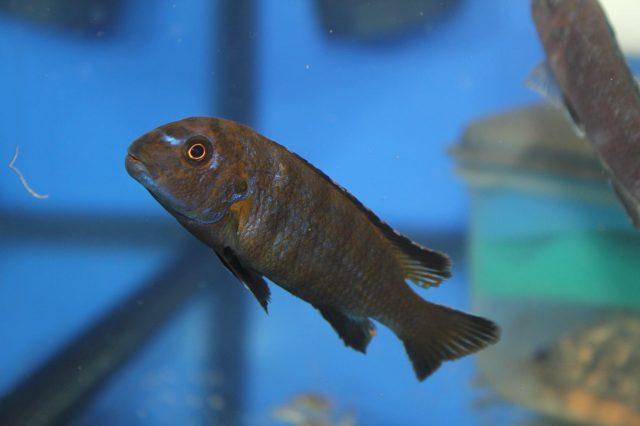 Chindongo sp. 'elongatus nkhata brown' (samec)
