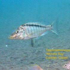 Taeniolethrinops laticeps