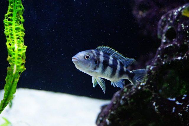 Petrotilapia sp. 'chitimba' (samice)