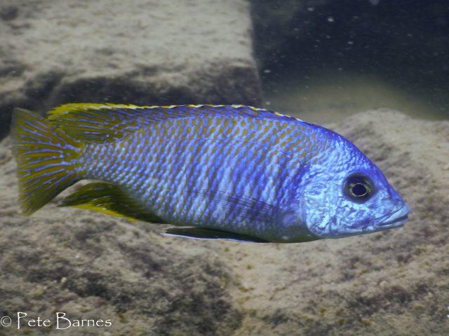 Otopharynx sp. 'heterodon nankumba' (samec)