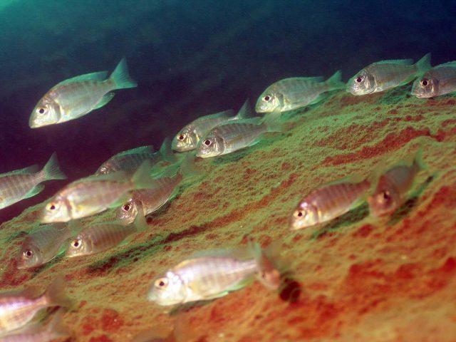 Aulonocara maylandi Luwala Reef (samice)