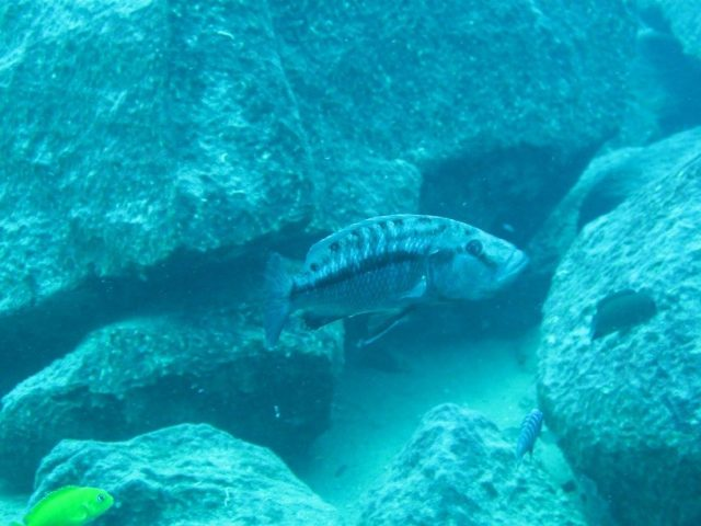 Tyrannochromis nigriventer (samice)