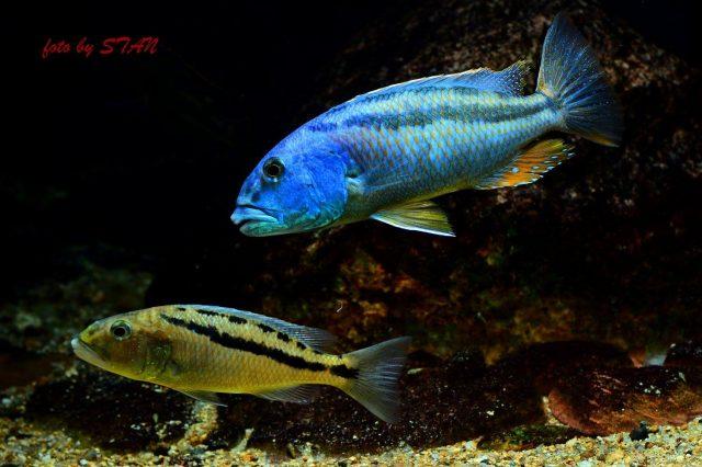 Aristochromis christyiBoadzulu Island (samec a samice)