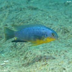 Tropheops sp. 'yellow chin'
