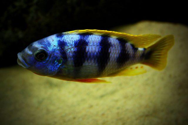 Petrotilapia sp. 'chitimba' (samec)