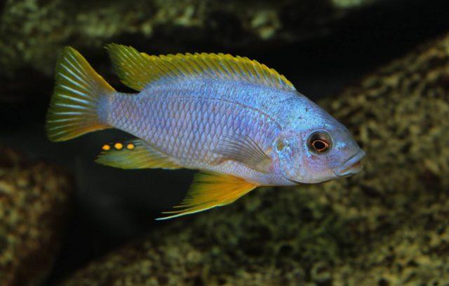 Petrotilapia sp. 'chitimba'