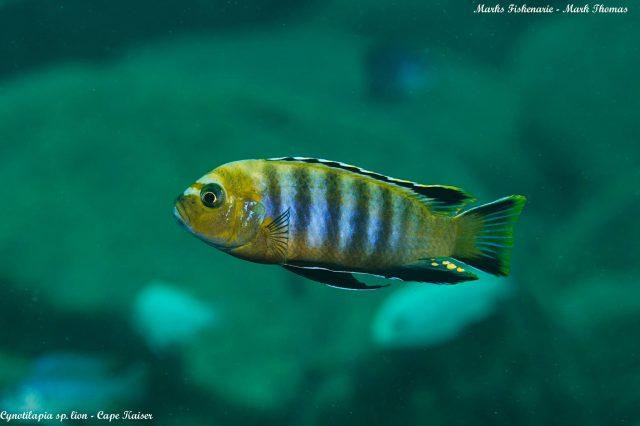Cynotilapia sp. 'lion' Cape Kaiser (samec)