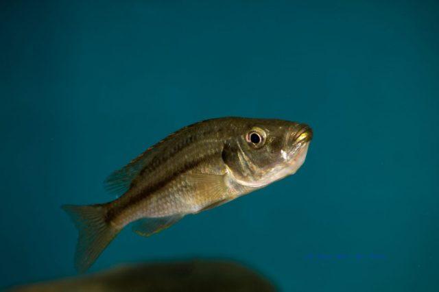 Dimidiochromis strigatus (samice)