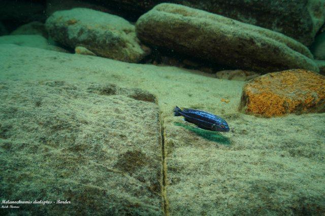 Melanochromis dialeptos (samec)