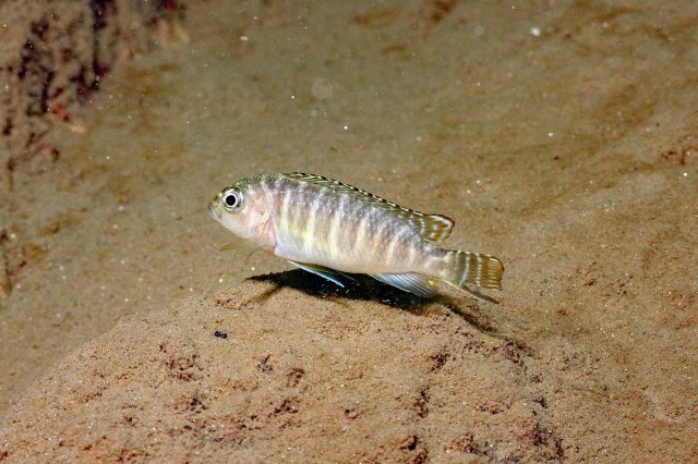 Pseudotropheus sp. 'dwarf nkhata' (samice)