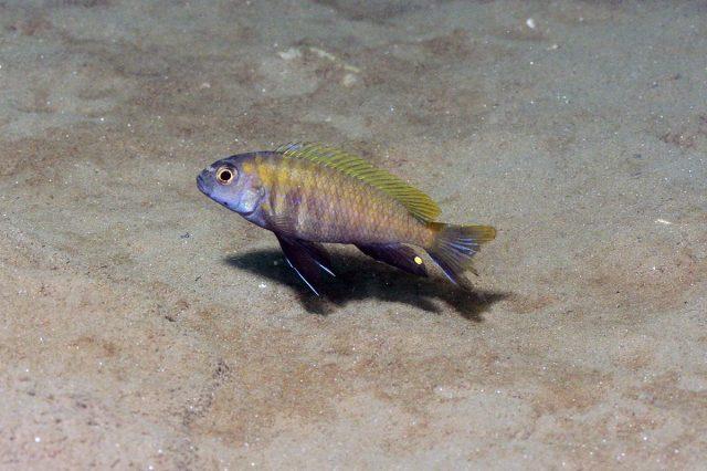 Pseudotropheus sp. 'dwarf nkhata'