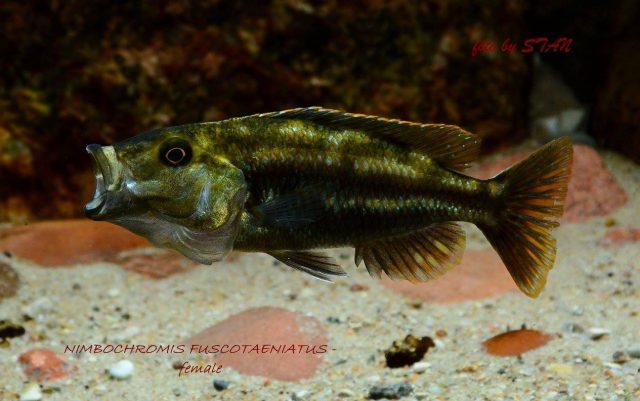 Nimbochromis fuscotaeniatus (samice)