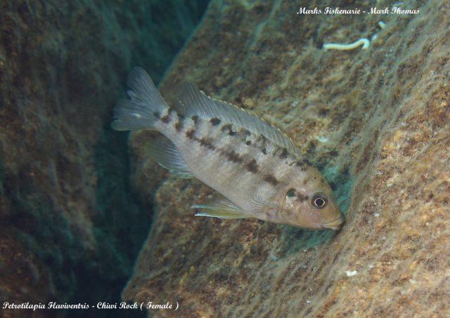Petrotilapia flaviventris (samice)