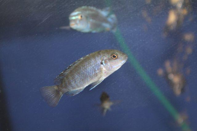 Labidochromis freibergi (samice)