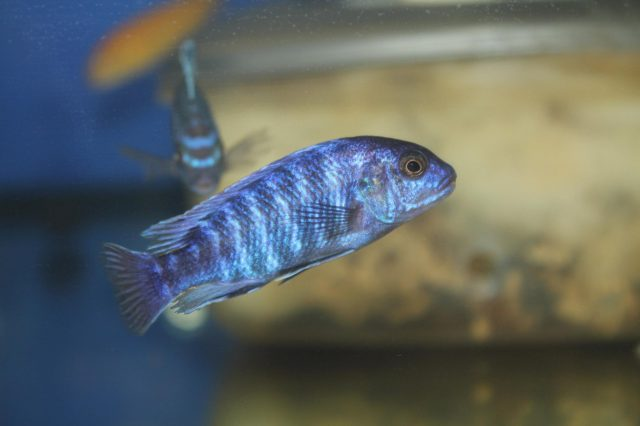 Labidochromis freibergi (samec)
