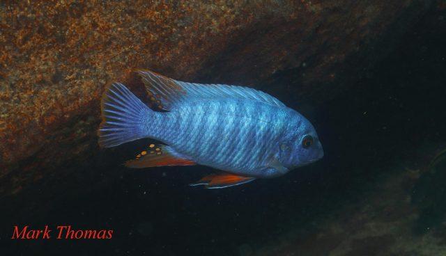 Labeotropheus artatorostris Mitande (samec)