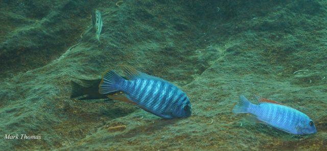 Labeotropheus artatorostris