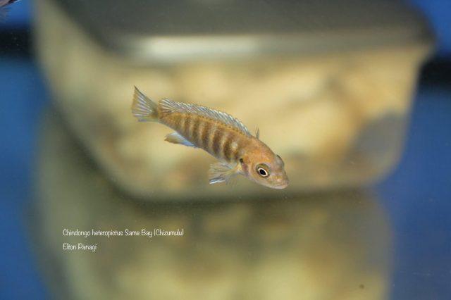Chindongo heteropictus Same Bay (samice)