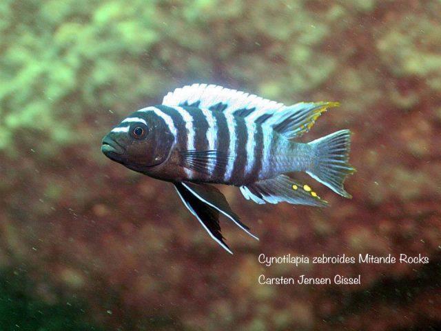 Cynotilapia zebroides Mitande (samec)