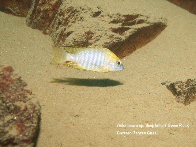 Aulonocara sp. 'deep lutheri' Gome Rock