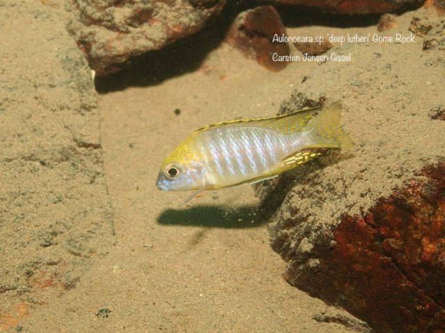 Aulonocara sp. 'deep lutheri'