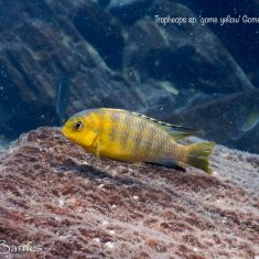 Tropheops sp. 'gome yellow'