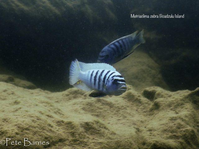 Metriaclima zebra (20)