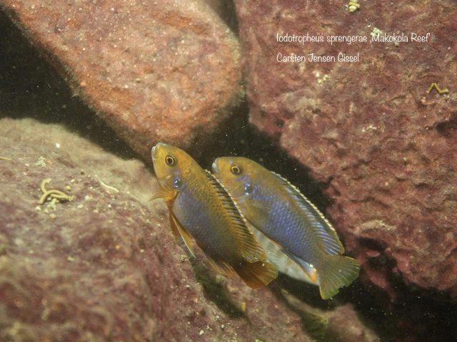 Iodotropheus sprengerae