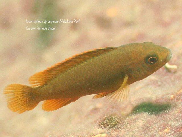 Iodotropheus sprengerae (samice)