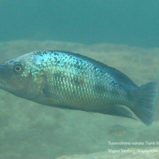 Fossorochromis rostratus